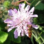 Knautia macedonica, Ex. pink