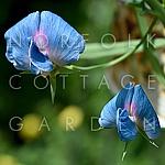Lathyrus sativus var. azureus