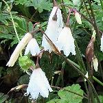 Acis or Leucojum autumnalis Syn. autumnale