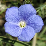 Linum narbonense 'Heavenly Blue' AGM