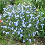 Linum perenne 'Blue Sapphire'