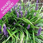 Liriope muscari 'Royal Purple' AGM