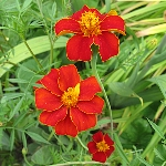 Tagetes patula 'Disco Red'