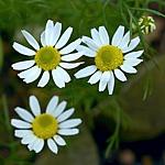Matricaria recutita syn. chamomilla