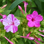 Mirabilis jalapa