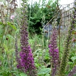 Teucrium hircanicum 'Purple Tails'