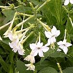 Nicotiana alata (Syn. affinis) var. grandiflora