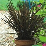 Oryza sativa 'Black Madras'
