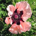 Papaver orientale, pink