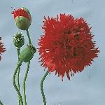 Papaver paeoniflorum 'Scarlet Peony'