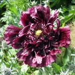 Papaver somniferum var paeoniflorum 'Black Peony'
