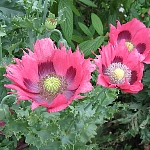 Papaver somniferum, red, single