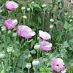 Papaver somniferum, single, mauve