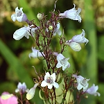 Penstemon digitalis 'Huskers Red'