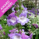 Penstemon Ex. 'Alice Hindley' AGM