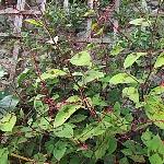 Persicaria virginiana 'Lance Corporal'