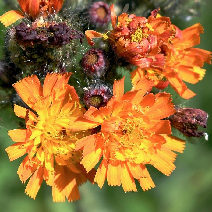 Pilosella Syn. Hieracium aurantiaca