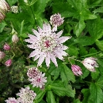 Astrantia mixed