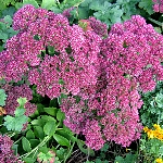 Hylotelephium Syn. Sedum spectabile 'Autumn Joy'