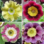 Primula auricula, mixed