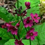 Primula japonica 'Miller's Crimson' AGM