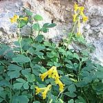Pseudofumaria Syn. Corydalis lutea