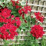 Verbena hybrida Mix