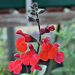 Salvia x jamensis Syn. greggii, Red