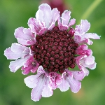Scabiosa atropurpurea 'Beaujolais Bonnets'