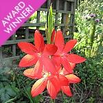 Hesperantha (syn. Schizostylis) coccinea 'Major' AGM