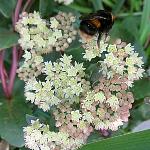 Hylotelephium Syn. Sedum telephium subsp. ruprechtii 'Hab Grey'