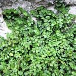Soleirolia syn. Helxine  soleirolii