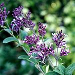 Syringa microphylla