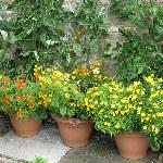 Tagetes tenuifolia 'Starfire Mixed'