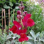 Antirrhinum majus Ex. tall, red