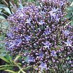 Trachelium caeruleum 'Pallas' AGM