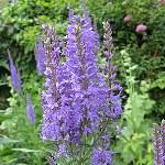 Veronica longifolia (blue)