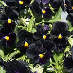 Viola cornuta 'Back to Black'