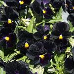 Viola cornuta 'Back to Black'