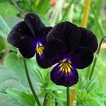Viola 'Bowles Black'