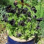 Viola wittrockiana 'Black Devil'