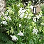 Aquilegia vulgaris Ex. Alba
