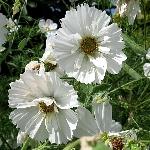 Cosmea bipinnatus Ex. Semi-Double White