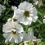 Cosmos bipinnatus Ex. Semi-Double White