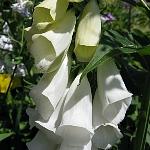 Digitalis purpurea Ex. f. albiflora