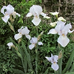 Iris germanica, White