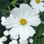 Cosmos bipinnatus Ex. Single white