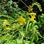 Crocosmia x crocosmiiflora 'George Davison'
