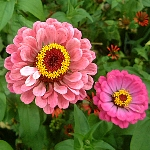Zinnia elegans Mixed